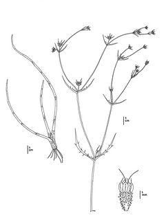 Eryngium constancei, CDFW illustration by Mary Ann Showers, click for full-sized image