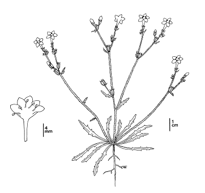 line drawing of ground plant with flowers - click to enlarge in new window