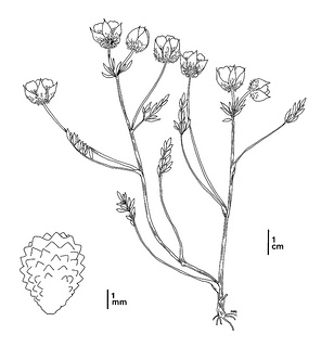 Limnanthes floccosa ssp. californica CDFW illustration by Mary Ann Showers, click for full-sized image