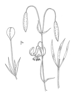 ilium pardalinum ssp. pitkinense CDFW illustration by Mary Ann Showers, click for full-sized image
