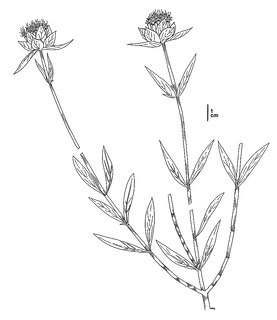 Monardella viminea CDFW illustration by Mary Ann Showers, click for full-sized image