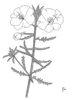 Oenothera deltoides ssp. howellii CDFW illustration by Mary Ann Showers, click for full-sized image