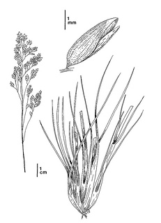 Poa napensis CDFW illustration by Mary Ann Showers, click for full-sized image