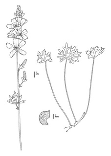 Sidalcea oregana ssp. valida, CDFW illustration by Mary Ann Showers, click for full-sized image