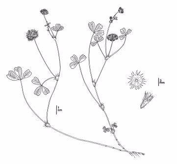 Trifolium trichocalyx - CDFW Illustration by Mary Ann Showers