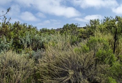 Ventura marsh milkvetch habitat of a variety of coastal shrubs