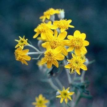 Eriophyllum latilobum, CDFW photo by Mary Ann Showers