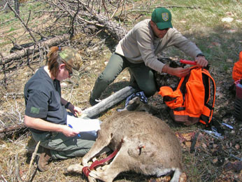 biologists and tranquilized deer