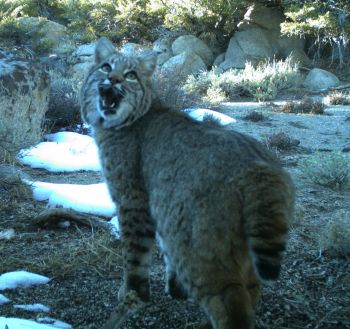 Bobcat snarling in small clearing, with some snow and surrounded by sagebrush