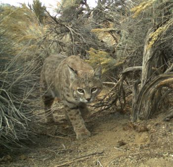 Bobcat walking through passage in sagebrush