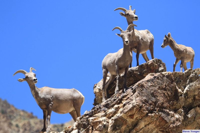 Desert Bighorn Sheep Facts
