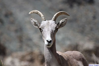 A bighorn ewe stares straight into the camera - link open in new window.