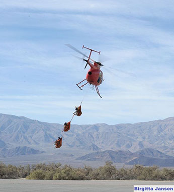 Three bighorn sheep are carried in bags on a rope underneath a helicopter - link open in new window.