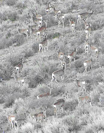 Mule deer group foraging in Round Valley