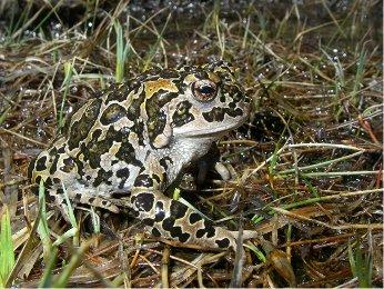 Yosemite toad female in grasses