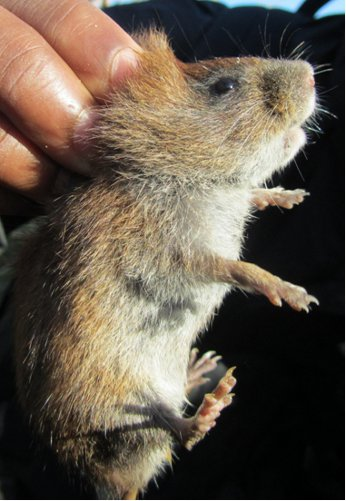 Close-up photo of Amargosa vole being held