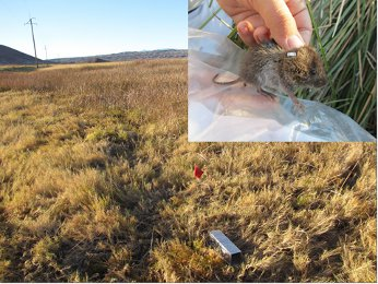 Trap for Amargosa voles with inset of vole captured