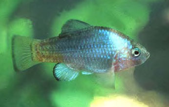 Male desert pupfish in aquarium