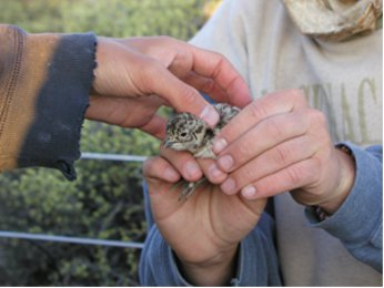 Captured sage grouse chick