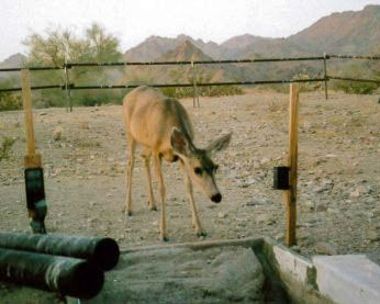 Mule Deer at water tank