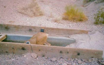 Mule deer in water tank