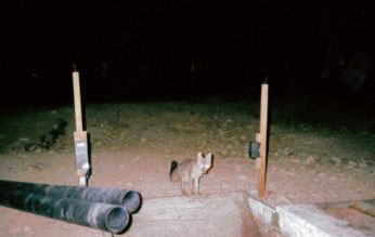 Gray fox at water tank