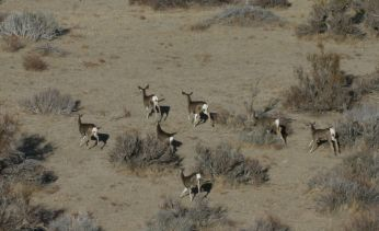 Mule deer does in desert habitat