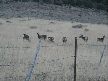 Mule Deer browsing Slinkard Valley