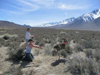 Release of doe Mule Deer in Round Valley