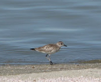 Black Bellied Plover at the Salton Sea