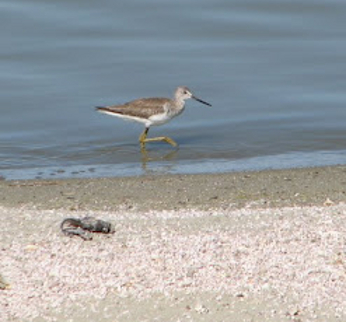 Greater yellowlegs in the Salton Sea