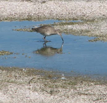 Willet on edge of Salton Sea
