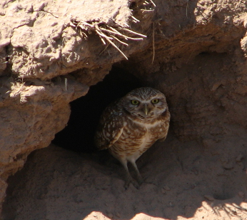Burrowing Owl near burrow