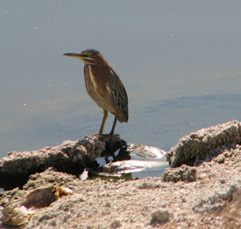 Green Heron on edge of Salton Sea