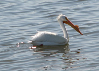 American White Pelican floating in the Salton Sea