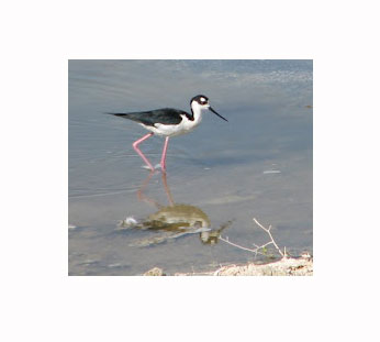 Black Necked Stilt on edge of Salton Sea