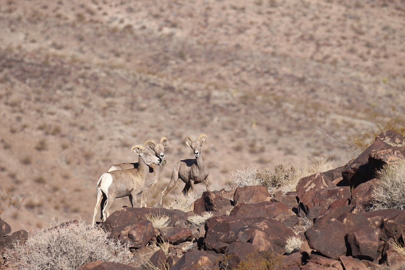 group of desert bighorn sheep