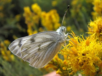 white butterfly feeding on yellow flowers