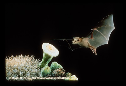 flying bat approaching cactus flowers