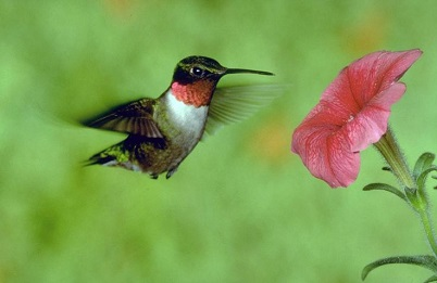ruby-throated hummingbird flying next to a pink flower