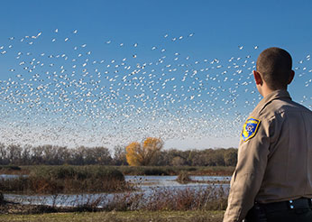 An image of a Wildlife Officer overlooking a flock of snow geese flying in the air