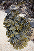 bladderwrack, CDFW photo by R. Flores Miller
