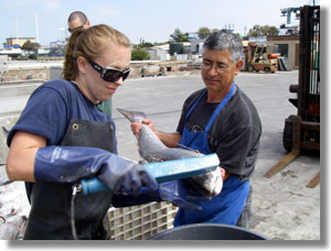 Kathryn Johnson scans white seabass for tags in Ventura Harbor. CDFW photo by Sabrina Bell.