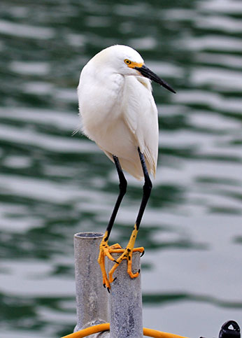Snowy Egret, Photo CDFW