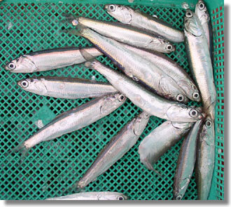 Northern anchovy. CDFW file photo.