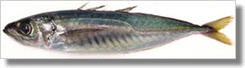 Jack mackerel. CDFW file photo.