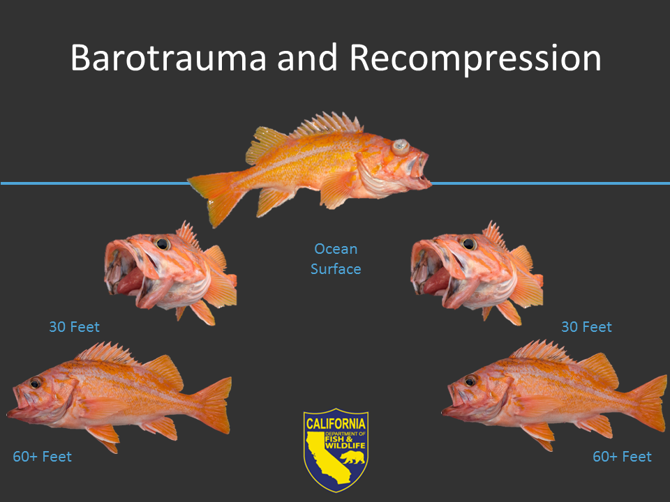 Schematic of rockfish as they are brought to the surface and then returned to depth. The swim bladder expands with gas when brought up to surface, and is then recompressed when returned to depth. Enlarged image with text will open in new window when selected