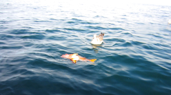 Canary rockfish floating at the surface, with a seagull watching closely nearby.