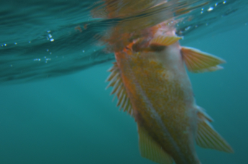 Canary rockfish floating at the surface of the water, photo taken from beneath the surface.