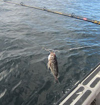Blue rockfish on a Shelton descending device: enlarged image will open in new window when selected